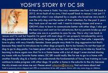 Yoshi - Adopted! / Shiba Inu - Male - 3 yr old