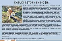 Kazuki - Adopted! / Kazuki - Male - 3 yrs old - Shiba Inu - Red