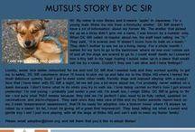 Mutsu - Adopted! / Male - Shiba Mix - Young