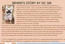 Benkei - Adopted! / Benkei - Young Female Shepherd Mix