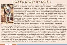 Roxy - Adopted! / Roxy - female - senior - Shiba Inu - Bonded Pair with Lexy