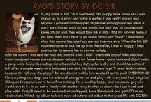 Ryo - Adopted! / Red - Male - Shiba Inu - Young