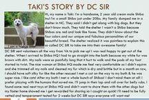 Taki - Adopted! / 2 yr old - Male - Cream - Shiba Inu