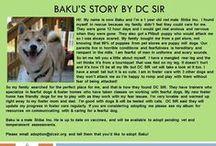 Baku - Adopted! / Shiba Inu - Male - 18 months - Red