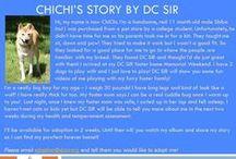 ChiChi - Adopted! / 11 Mo - Male - Shiba Inu