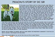 Pikachu - Adopted! / 5 yr - male - cream - Shiba Inu