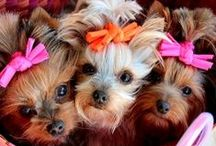 Lovely Yorkies!!!