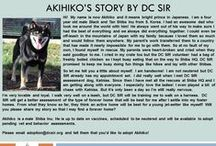 Akihiko - Adopted! / Male - 4 Years Old - Black and Tan - Follow his story here: http://on.fb.me/1MMCOyH