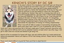 Kenichi - Adopted! / Male - 2.5 Years Old - Black and Tan   Follow his story here: http://bit.ly/1rhn6ED