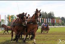 Marché Concours - Saignelégier / Présence d'Espritrait pour le Marché Concours de Saignelégier en Suisse avec plus de 400 chevaux Franches-Montagnes.