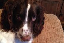 Dexter's Day / This board is run by Dexter, the family Springer Spaniel. He has his own blog at https://dextersday.wordpress.com