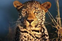 """Leopards/ <3Tigers(big cats)!!! / Pretty cats spots 2 stripes"