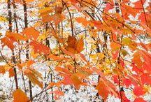 ~Vermont Foliage~ / Photographs of the Vermont's maple trees through the seasons