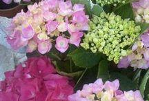 Flores - Hortenses/hidrângeas / by rosana trigo
