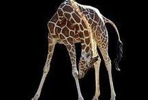 Giraffes / by Pet Sitters Ireland