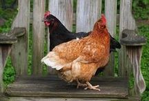 All things farm - Chickens / Chickens, coops and food