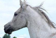 Arabian horses <3