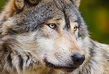 Wilki / Tablica jest o wilkach