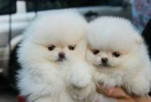 Pomeranian - Cuteness overload!!