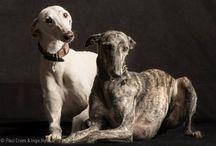 Greyhounds & Galgo Espanol & Barsoi 1