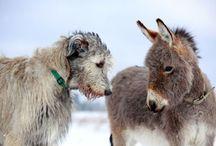 Greyhounds & Galgo Espanol & Barsoi 2