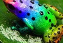FROGS.! / Amphibians..frogs..