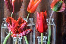 Flowers: Tulips | tulpen / Het voorjaar is pas compleet met tulpen. Elk jaar verovert deze kleurrijke voorjaarsbloem het hart van de consument. Tulpen brengen het voorjaar in huis en vullen de woonkamer met een vrolijke, gezellige sfeer. De voorjaarsuitstraling van deze veelzijdige bloem maakt de tulp tot de vrolijkste bloem van Nederland.