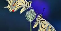 butterflies / What the caterpillar calls the end of the world the master calls a butterfly. (Richard Bach)