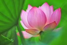 Lotus Breeze