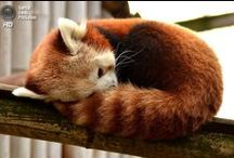 Red Panda / Ма́лая па́нда — млекопитающее из семейства пандовых отряда хищных, которое, тем не менее, питается преимущественно растительностью; размером немного крупнее кошки.