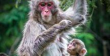 Primate / #lemur #lemurs #tamarin #marmoset #monkey #gorilla #orangutan #gibbon #baboon #colobus #surilli #titi#saki #mangabey #macaque #langur #howler #capuchin