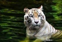 Big Cats/Wild Cats / #wild #bigcats #wildcats #lion #tiger #jaguar #cheetah #leopard #cougar #snowleopard #sundacloudedleopard