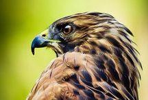 Eagles / Hawks