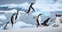 Arctic/Polar Animals / Animals in the Snow.