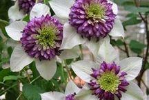 "✿ Flowers in my Garden / ""A flower blossoms for its own joy.""  ― Oscar Wilde"