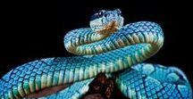 Snake / Every great story seems to begin with a snake. (Nicolas Cage)  #anaconda #cobra #viper #python #habu #hognose #coral #racer #adder #snake #snakes #womanwithsnake #manwithsnake