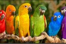 Animals, Parrots, Cockatoos, and the Littler Ones... / They are really special....some can learn to talk, they are very intelligent, so many colors...just magnificent...Best in the wild, but if you are eager to buy one ( not out of the wild), always remember that you will have a Buddy for sometimes a lifetime..their not just for Christmas so to say... / by Gerry Teuben