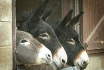 Animals, Donkeys / They are so much more than people think and know...they are caring and intelligent and the grief just like us humans after a compagnion dies....If only all donkey's could have a good life. That is why I support Brooke Animal Hospital, they give care and educational tips to people with horses and donkeys in the Middle East! / by Gerry Teuben