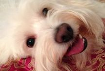 Coton De Tulear Love / Can't live without one!
