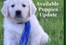 Available Puppies / Stop by frequently to see which puppies we have available. Feel free to also stop by at: http://wisteriagoldens.com/available-puppies/