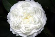 Fehér virágok./White flower.