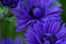 Kék virágok./ Blue flowers. / Kékség.