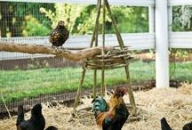 lovin my chickens