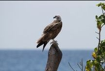 Belize Bird Watching - (Ospreys) at Hatchet Caye Resort, Belize! / Hatchet Caye Resort, Placencia Belize, is home to many exotic species of birds. With the water around our island teeming with marine life, sea-shore birds are particularly fond of settling in on our island, on which they are never far from a ready food supply. Visit our blog at http://hatchetcaye.com/belize-resort-blog/