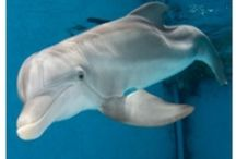 Clearwater Marine Aquarium / Winter - The dolphin with no tail...