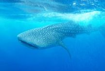 Belize Whale shark Dive Tours - Hatchet Caye Private Island Resort. / Whale Shark Diving is one of the most unique and exciting tours we offer at Hatchet Caye Placencia Belize. Come swim with these gentle giants and experience the awe-some sights today. http://hatchetcaye.com/belize-whale-shark-diving/