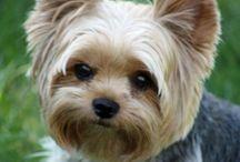 ❤️Doggies / Love dogs....especially yorkies❤️❤️❤️
