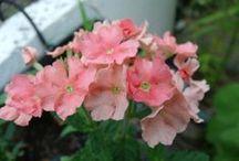 Mon Balcon Terrasse /  jardinage sur ma terrasse! consultez mon blog ! <3