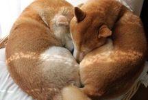 Shiba and akita inu / Shiba, akita, inu, dog, kawaii, doge