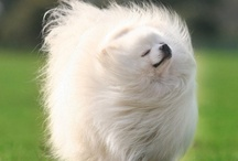 Animals are Awesome / Especially dogs. Like Pomeranians to be more specific. :]